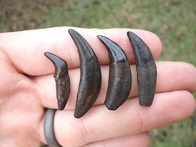 4 Different Carnivore Canine Teeth Florida Fossils Fossil Tooth Wolf Cat Bear Fl