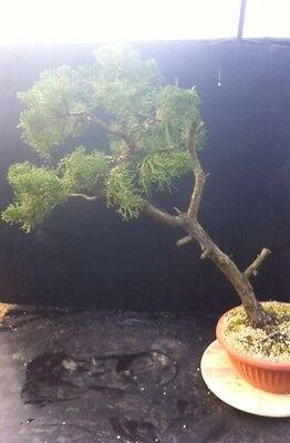 Large Chinese Juniper Bonsai Work Shop Material Collected In Italy
