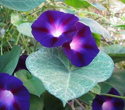Morning Glory Seeds Blue Star (Ipomoea Tricolor) Annual Flower Vine