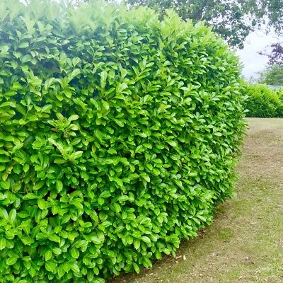 50 CHERRY LAUREL HEDGING, POTTED NOT BARE ROOT, 40-60cm , EVERGREEN.