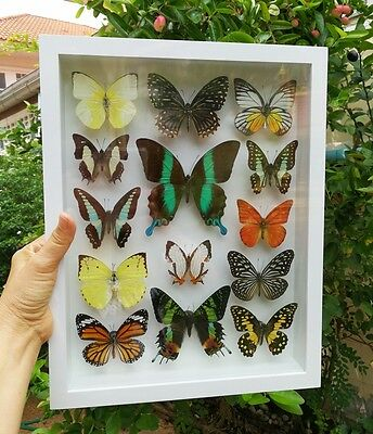 Real Mix 14 Butterflies Taxidermy Insect Display Frame White Rare Mounted Gift