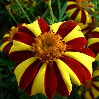 Marigold – Tagetes Seeds Mister Majestic Annual Flowers