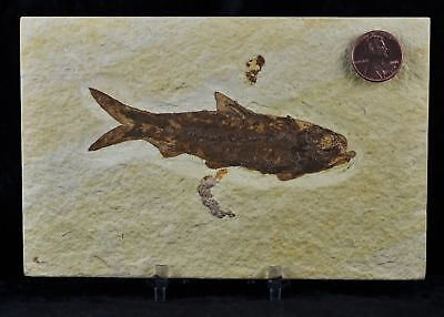 Knightia Eocaena Fossil Fish Green River Wyoming Eocene Age 4 In Free Stand