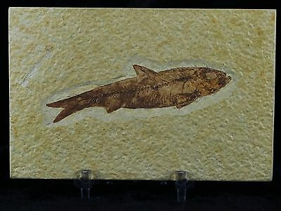 Knightia Eocaena Fossil Fish Green River Wyoming Eocene Age Free Stand, Shipping