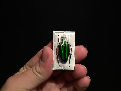 Taxidermie Entomologie Insecte Chalcothea neglecta A1 d'Indonesie!!