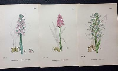 Botanical SOWERBY c1860 LIZARD ORCHIS & VARIOUS, Original Engraved plates
