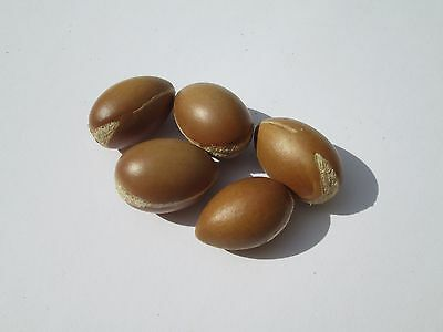 10 Argan seeds (Argania Spinosa) from Tafraout Morocco - New harvest