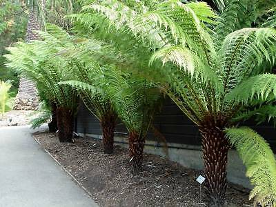 Soft Tree Fern (Dicksonia antarctica) 1000 Fresh Spores