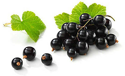 Black currant  berry, 50  seeds