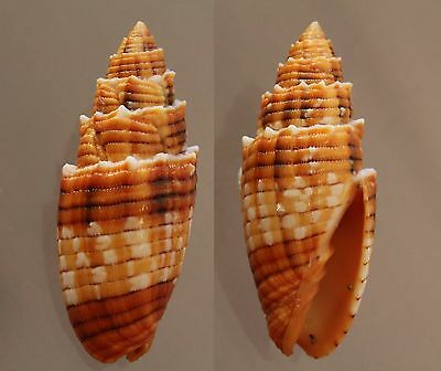 "Mitra puncticulata, 44 mm, F+++/GEM, ""superb pattern and color"""