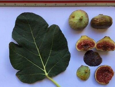 Delicious Fig Trees * Ficus Carica Var. PLANERA 3 fresh cuttings