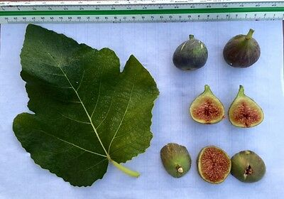 Delicious Fig Trees * Ficus Carica Var. ÑORAL 3 fresh cuttings
