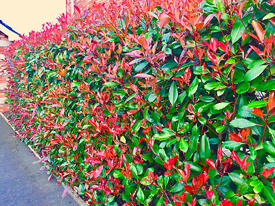 10 Photinia Red Robin Hedging Plants 30-40cm  Evergreen Hedge Shrubs
