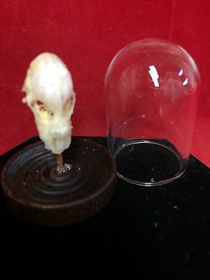 *TAXIDERMY LEPIDUS REAL BAT SKULL GLASS DOME DISPLAY-INDONESIA-Decor/Collection