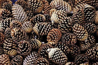 Pine Cones 14 Small Natural Pinecones Ideal for Centre Pieces Decorations