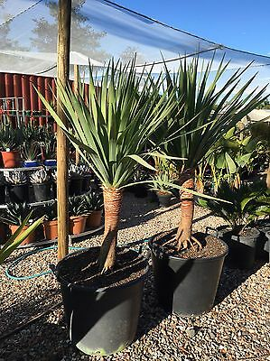 Dragon Trees , 100lt pots , 1.5 To 2 Meters High , pick up Rossmore 2557