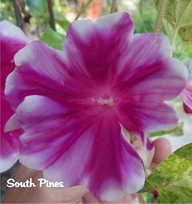 Kohkan Blizzard - Japanese Morning Glory Seeds - ipomoea Nil - LIMITED OFFER!