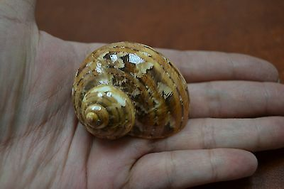 "Polished Petholatus Jade Turbo Sea Shell Hermit Crab 2"" - 2 1/2"" #7336"