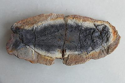 180mm Rare & preciou well-preserved Million Year Natural Old fish fossils YH107