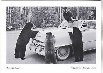 "*Postcard-""Begging Bears"" /Ask for Food/ *Yellowstone National Park (A257-9)"