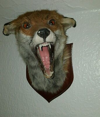 Beautiful Taxidermy Red Fox Head~Mounted On Wooden Plaque