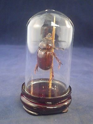 *TAXIDERMY OX BEETLE IN MINIATURE DISPLAY DOME--bug, insect, creepy