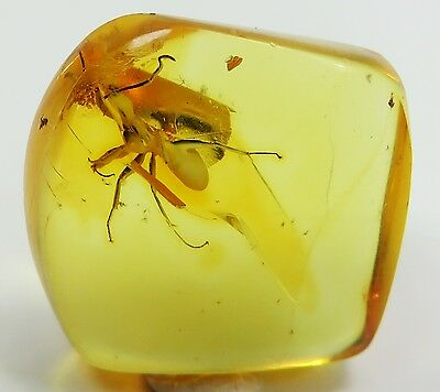 Fossil insect Great Big ANT inclusion in Natural Genuine BALTIC AMBER stone