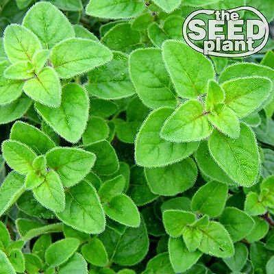 Oregano Seeds - 250 SEEDS-SAME DAY SHIPPING