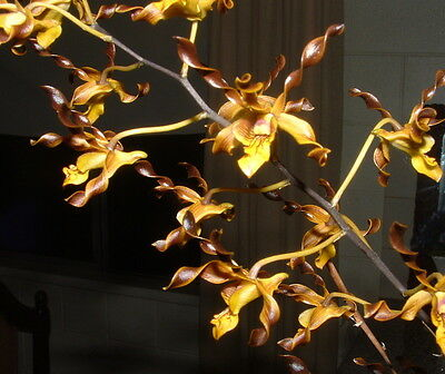 Plants- Dendrobium Orchid- Den. Touch of Gold
