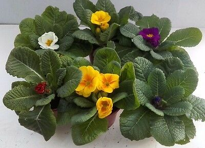 PRIMROSE PLANTS SPRING BEDDING 9CM POTS IN BUD/FLOWER (MIXED COLOURS) Not Plugs