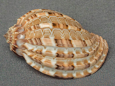 Beautiful Harpidae, Harpa conoidalis Major costata sea shell type 86mm 3.4""