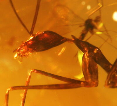 Pair of extremely rare Extinct Leptomyrmex Neotropicus Ant in Dominican Amber