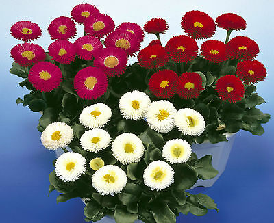 Bellis Perennis Mixed  Bedding Plug Plants- Galaxy Series