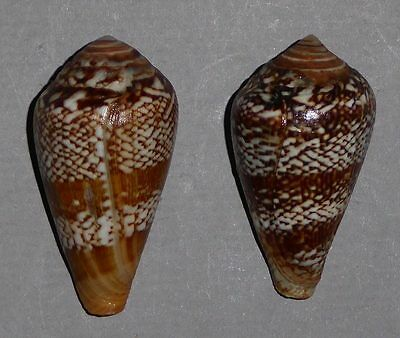Coquillage de collection : Conus cacao (paire)