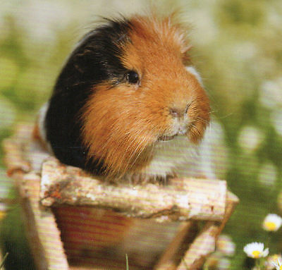 Guinea Pig  sitting in a wooden tray, featured on a FRIDGE MAGNET