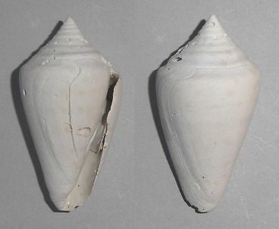 Coquillage de collection : Conus spuroides (fossile)