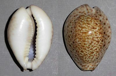 Coquillage de collection : Cypraea turdus (Extra - 44 mm)