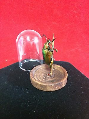 Preserved Entomology RED/GREEN Sagra Longicollis Beetle-insect-bug-taxidermy