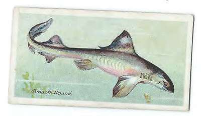 John Player Cigerette Card - Fishes of the World - Smooth Hound