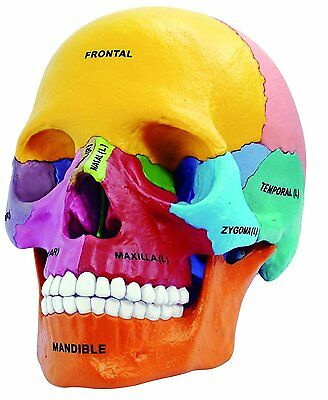 Dental 4D Vision Human Anatomical Models Didactic Exploded Skull Model UK STOCK
