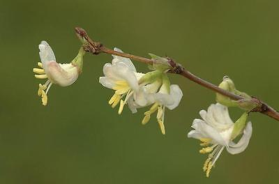 *Exquisite perfume* French perfumed Baby Breath *Lonicera fragrantissima*