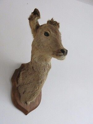 Vintage Taxidermy Deer Head Mounted on Wooden Shield Plaque