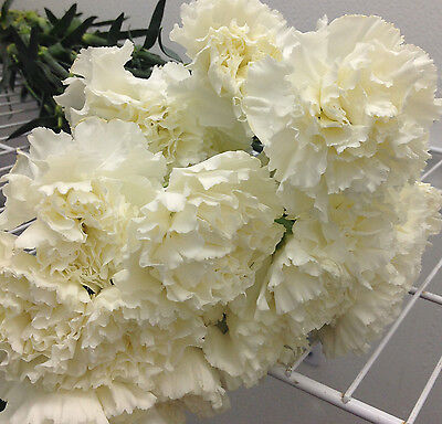 25 Stem Fresh WHITE Carnation Flowers Bulk wedding event centerpeice funeral