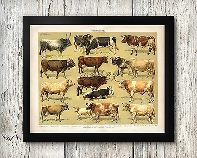 Poster Print Cows Breeds Bulls Bovine Cattle Livestock Agriculture 30x40