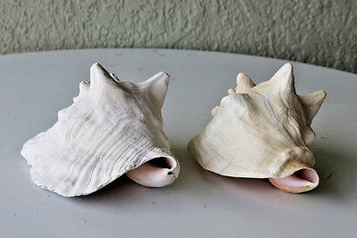 Vintage Large Pair Large Collectible Sea Shells
