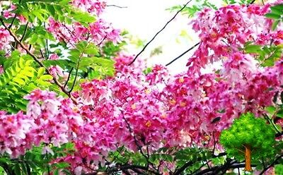 *uncle Chan* 20 Seed Cassia Javanica Pink Shower Pink Cassia Pink Lady Tree Beau