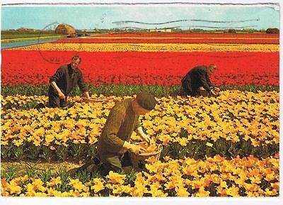 Holland Netherlands Postcard Holland in Bloom Yellow Red Bloementooi