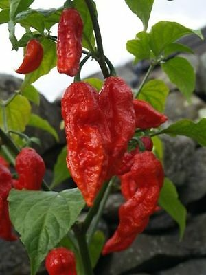 10 seed HOT GHOST PEPPER BHUT JOLOKIA WORLDS HOTTEST ONE MILLION SCOVILLE U M495