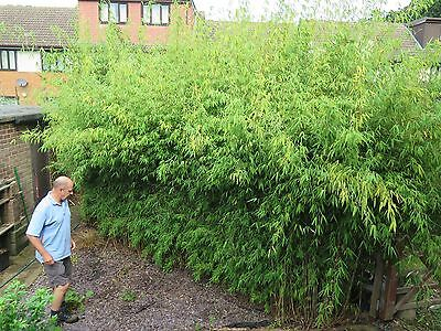 Bamboo Clumps KINGSTON . lots of sizes - good time for planting