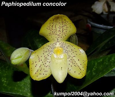 Orchid specie seeds: Paphiopedilum concolor - Year 2016